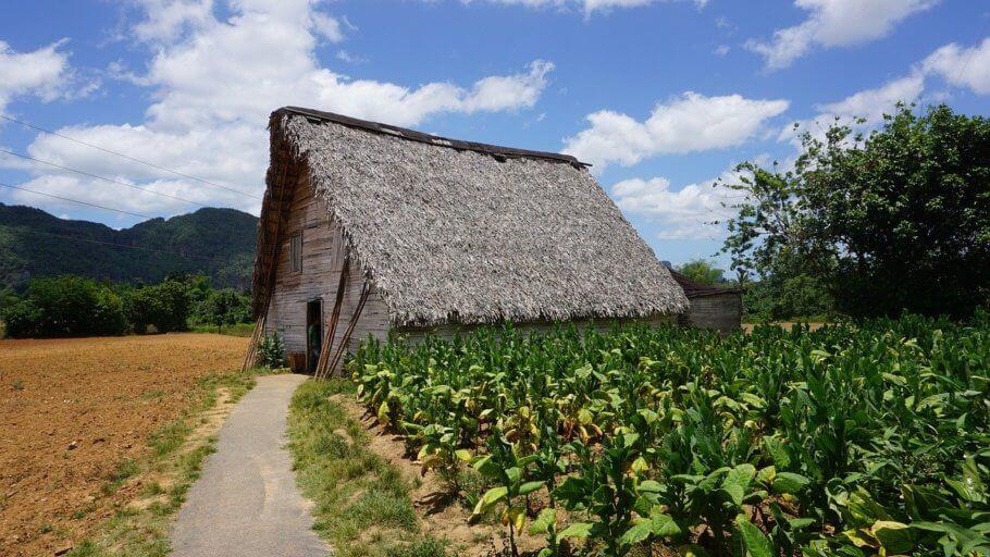 En el Caribe se cultiva tabaco de primera calidad