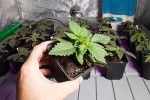 En unos pocos días esta planta necesitará un trasplante
