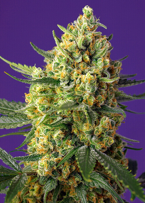 Crystal Candy XL Auto by Sweet Seeds