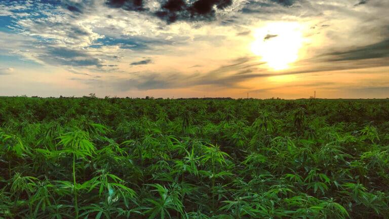 Variedades de cannabis con bajo contenido en THC