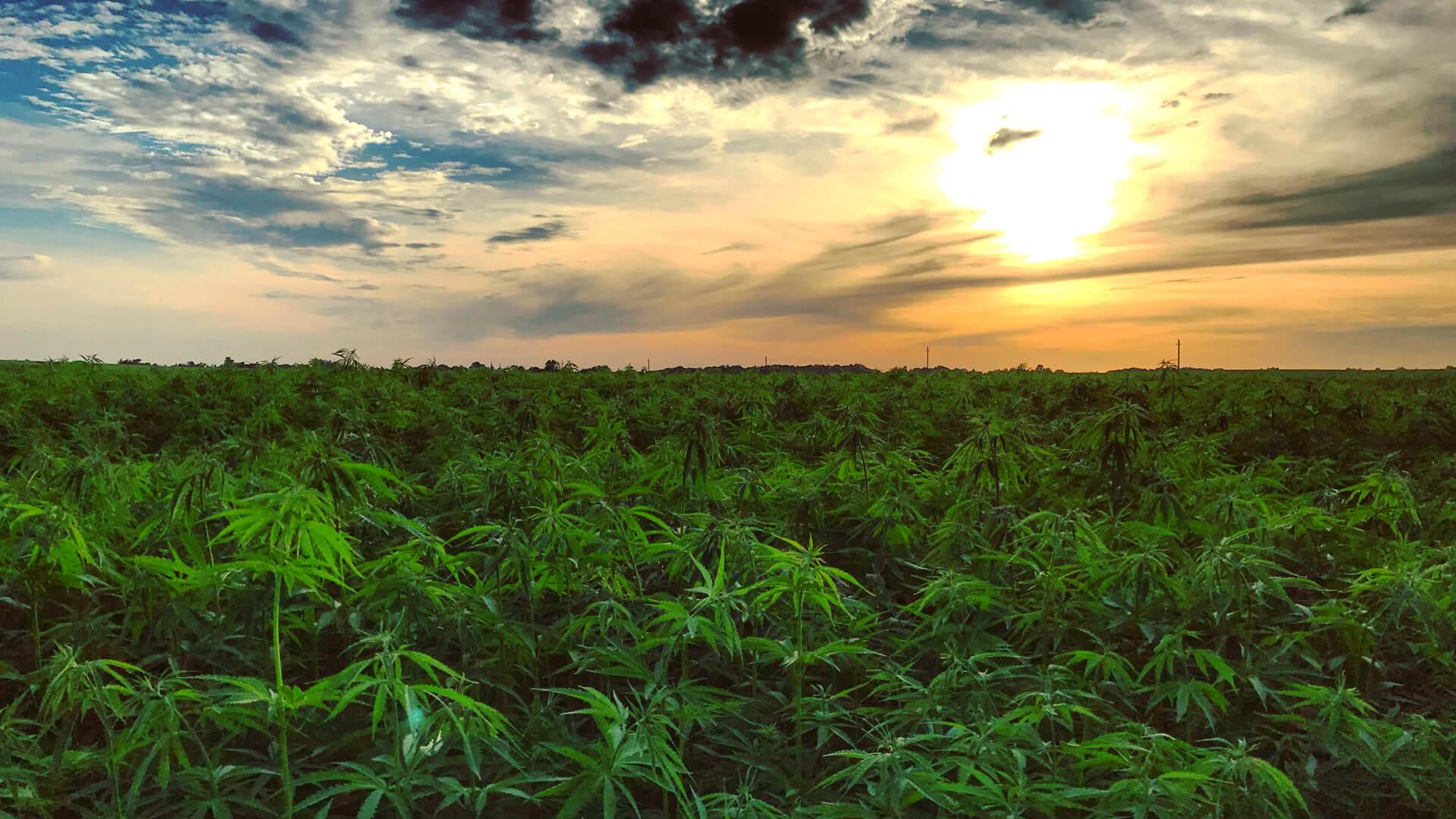 variedades-cannabis-bajo-thc
