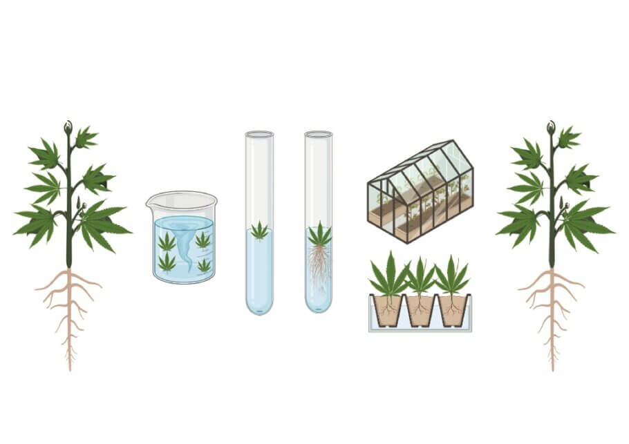 Different stages in the process of cannabis micopropagation
