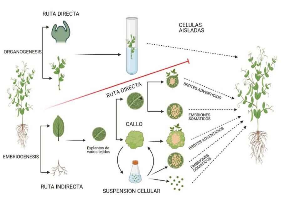 Las dos rutas principales son la organogénesis y la embriogénesis