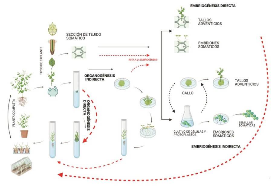 Ejemplos y rutas de organogénesis y embriogénesis directas e indirectas