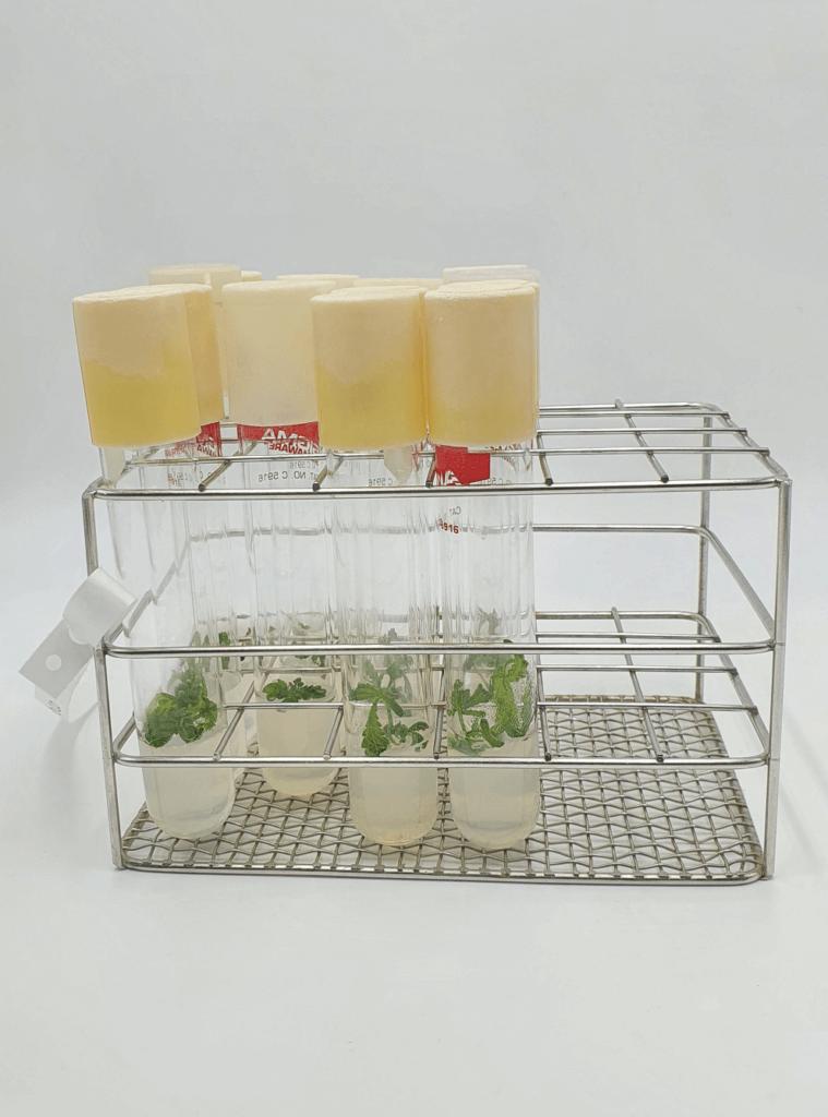 Cannabis explants prepared in their growing medium
