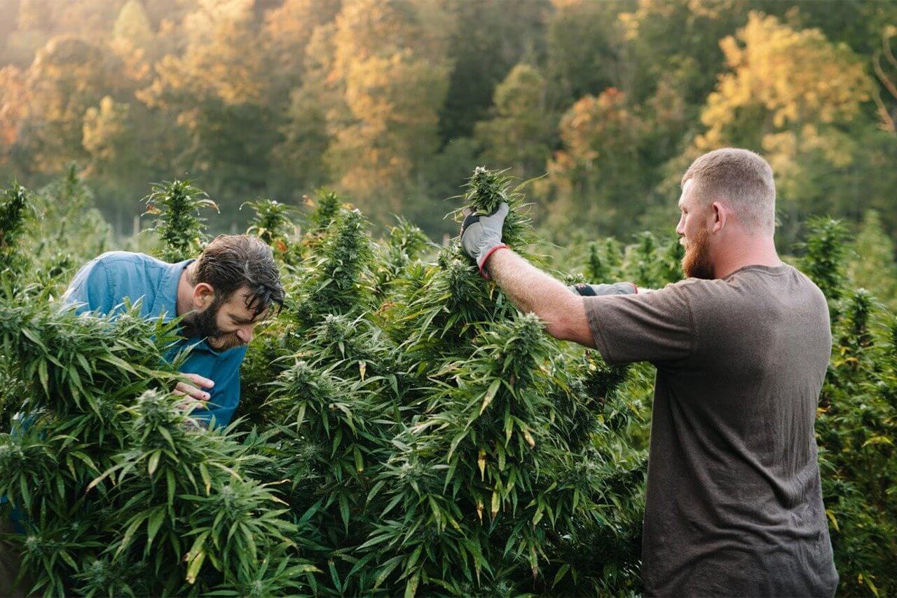cultivo-cannabis-sostenible