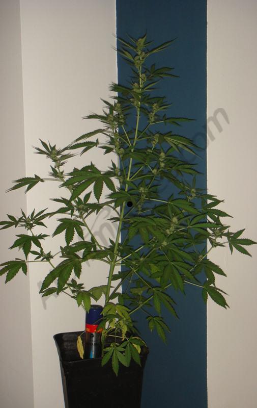 2a setmana floració planta C