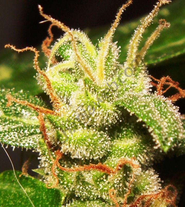 Cultiu de marihuana autoflorescent