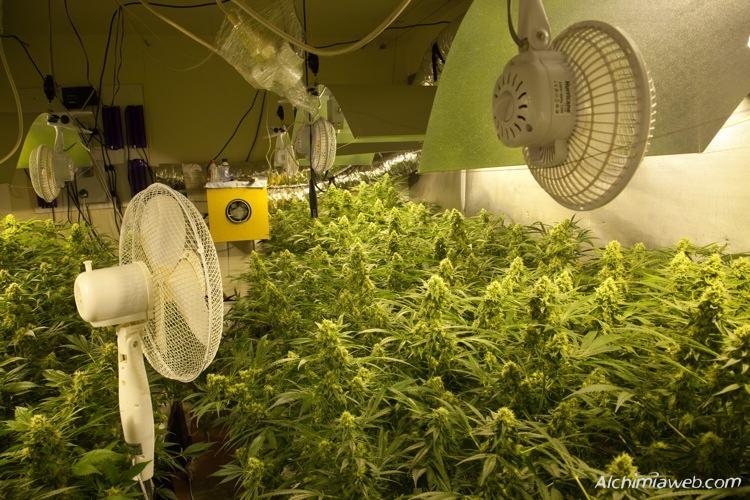 Plantes de marihuana ben ventilades