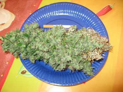 Cabdell de marihuana atacat per Botrytis Cinerea