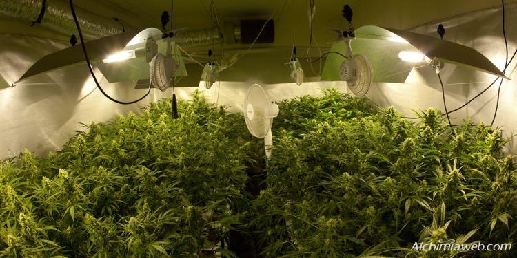 Cultiu interior de marihuana