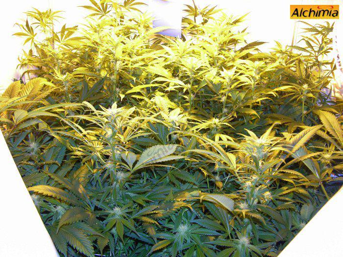 Aspecte de l'armari de cultiu de marihuana