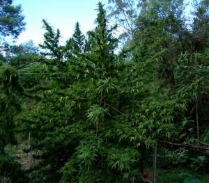 Planta de marihuana gran
