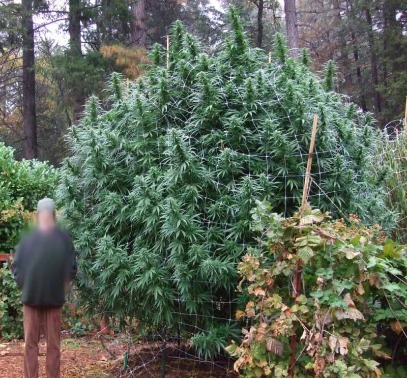 Cannabis en exterior