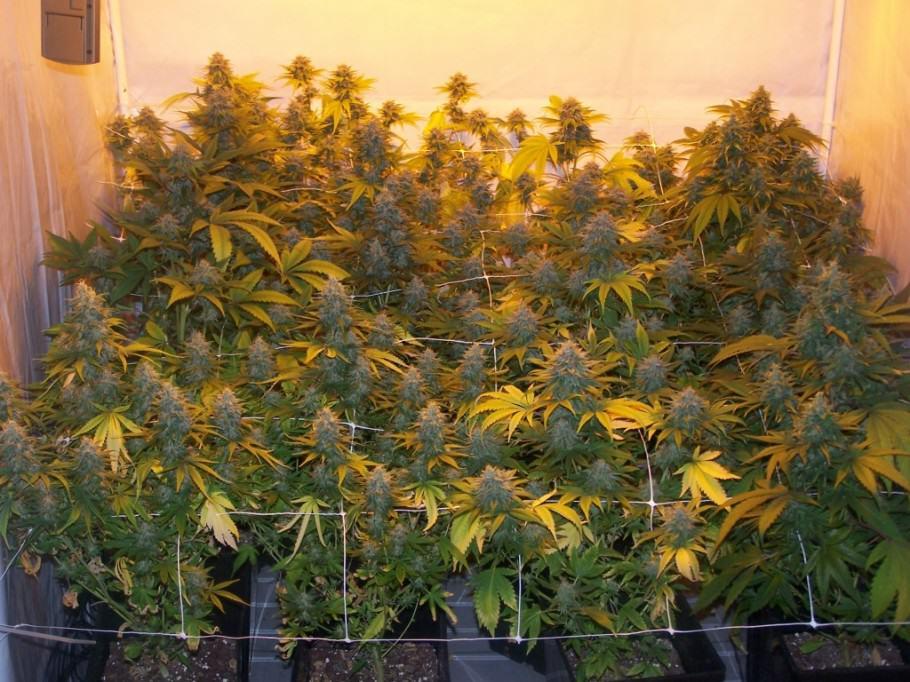 Floració de marihuana a terra