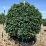 Planta de marihuana a Smart Pot