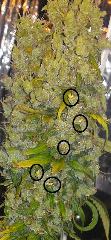 cabdell de marihuana hermafrodita