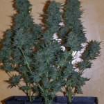 Plantes de marihuana en terra