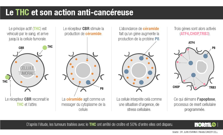 Acció del THC en les cèl · lules tumorals (font = NORML)