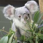 Fulles d'Eucaliptus
