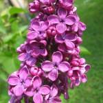flors liles