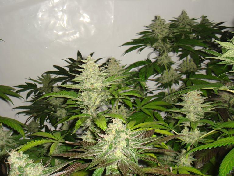 Cabdells de marihuana a la 5èna setmana de floració