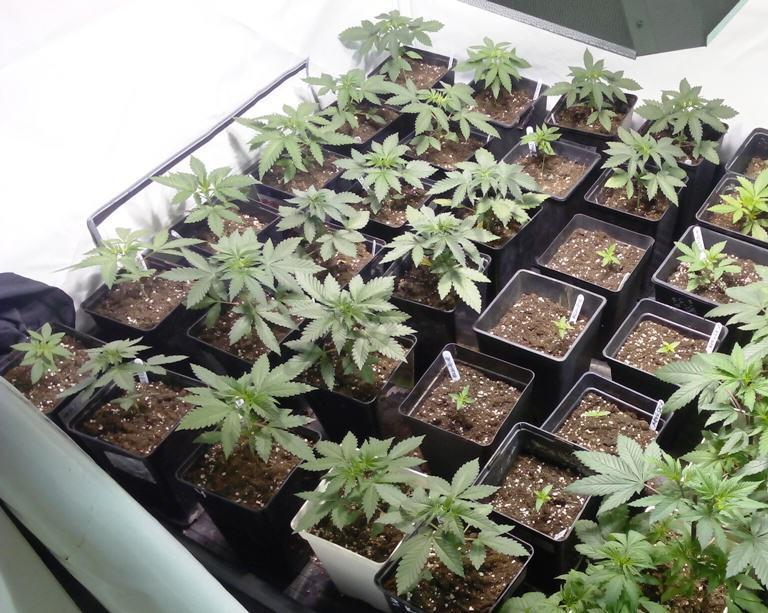 Plantes que comparteixen genètica Chemdog