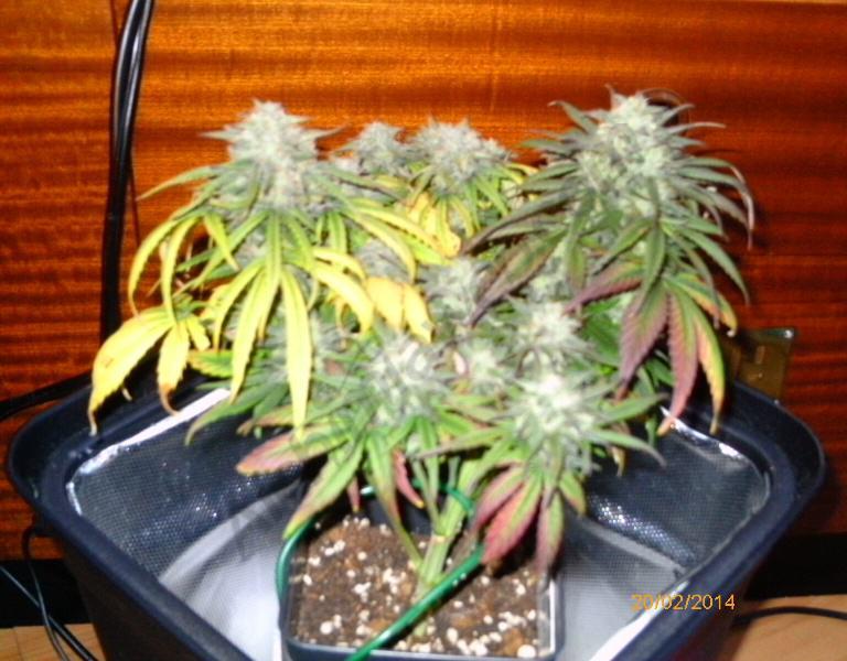 Cultivar marihuana en espais reduïts