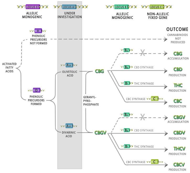Influència de la genètica sobre la producció de cannabinoides