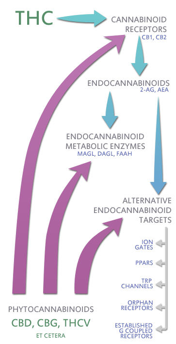 THC i receptors de cannabinoides