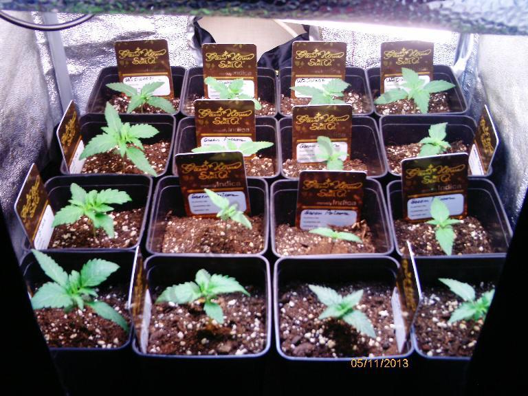 Cultiu en espai reduït en SOG i baix consum 250w