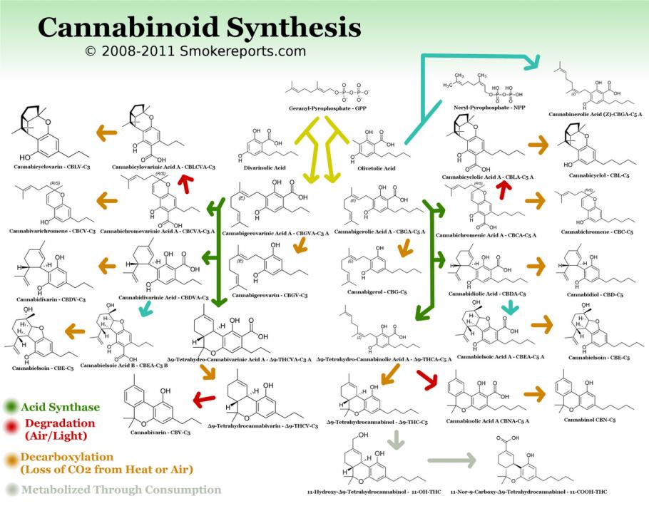 Esquema dels cannbinoides de síntesi