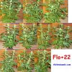 22 dies de floració