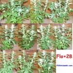 28 dies de floració
