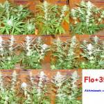 35 dies de floració