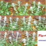 41 dies de floració