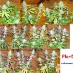 54 dies de floració