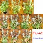 61 dies de floració