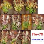 70 dies de floració