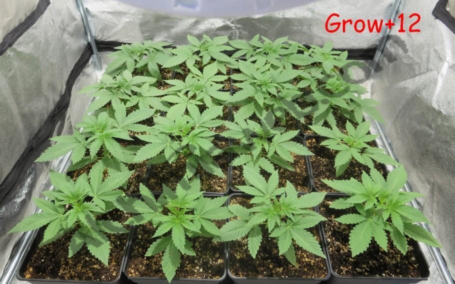 Plantes de cànnabis després de 12 dies de creixement