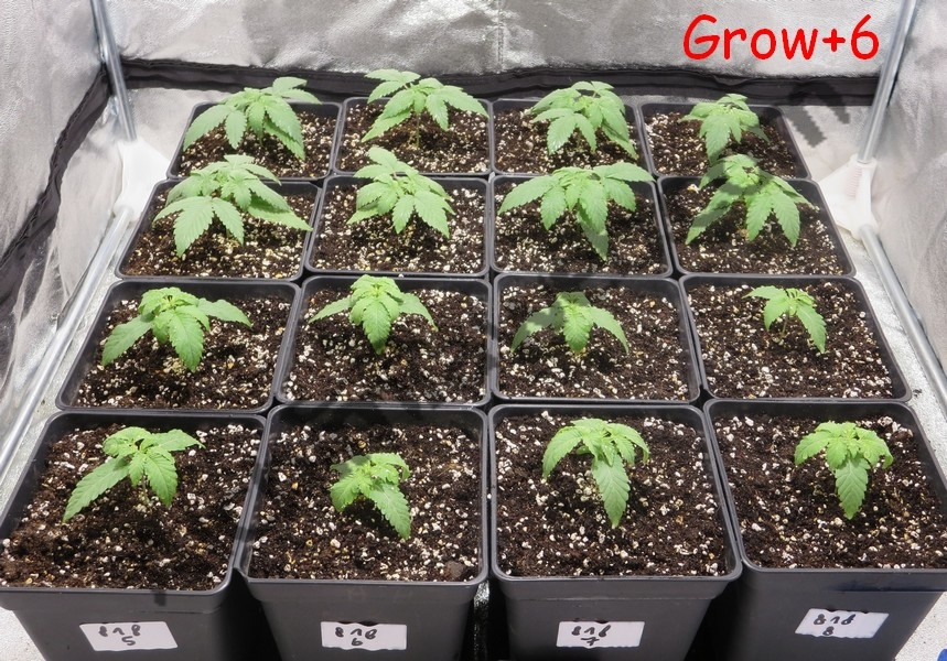 Plantes de cànnabis després de 6 dies de creixement