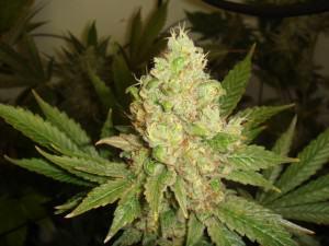 Marihuana indica a punt de collita