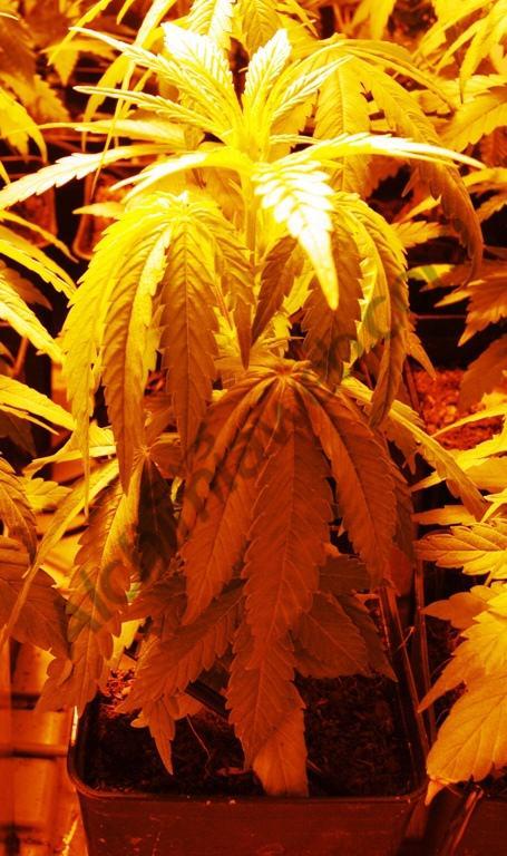 Marihuana amb el substrat massa sec
