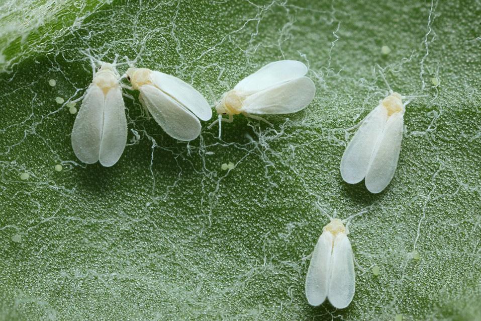 Combatre la mosca blanca a la marihuana
