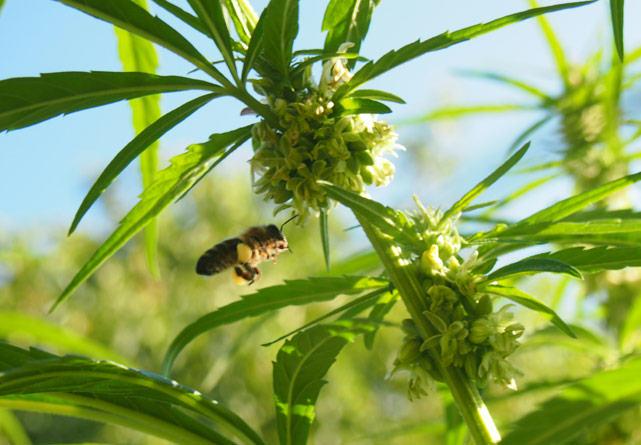 Planta de cànnabis sense THC