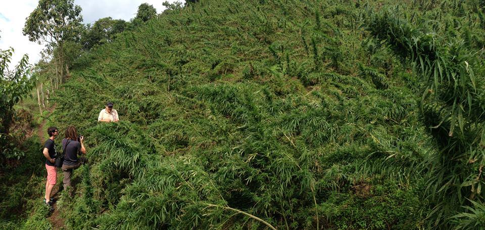 Observació de plantes de marihuana Landraces a Colòmbia.