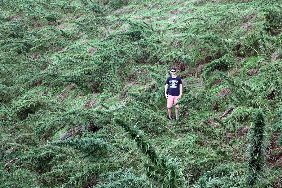 En un camp de marihuana landrace Colombiana