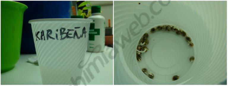 Germinació de les llavors amb h2o + 10% de H2O2