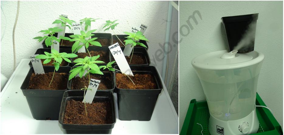 Inici de creixement ajudat d'un humidificacdor