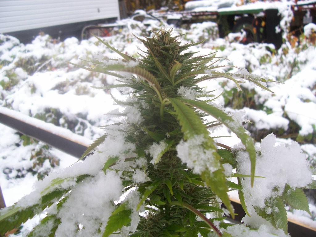 Marihuana combatent l'hivern